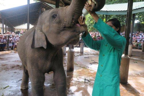 Pinnawala, Sri Lanka: photo1.jpg