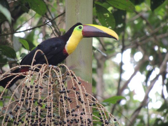 Sarapiqui, Costa Rica: birds of yatama