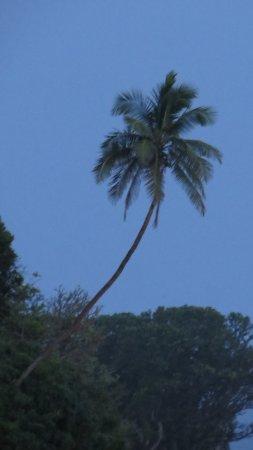 Taufua Beach Fales: Tafua Beach Coconut tree