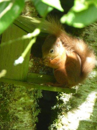 Ινβερμόριστον, UK: Red Squirrel in the garden