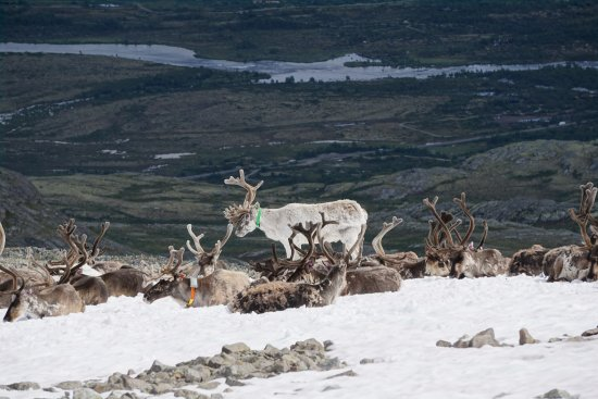 Vagamo, Noruega: This might be a bit blurry, but we encountered some reindeer near the end of our hike!!