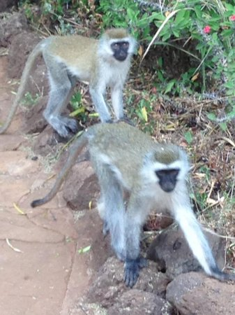 Amboseli Sopa Lodge: Little friends within Lodge grounds, grabbed an apple we had.