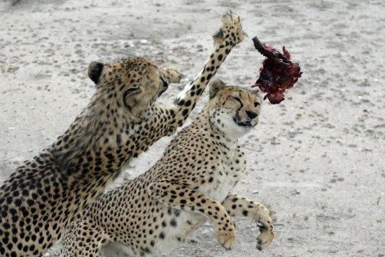 Kamanjab, Namibia: Wild Cheetah Feeding