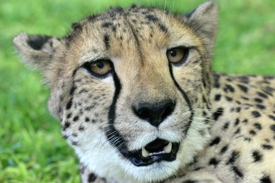 Kamanjab, Namibia: Pet Cheetah