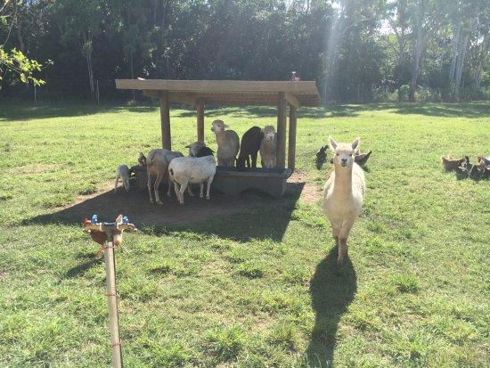 Cannonvale, Australia: The animal farm