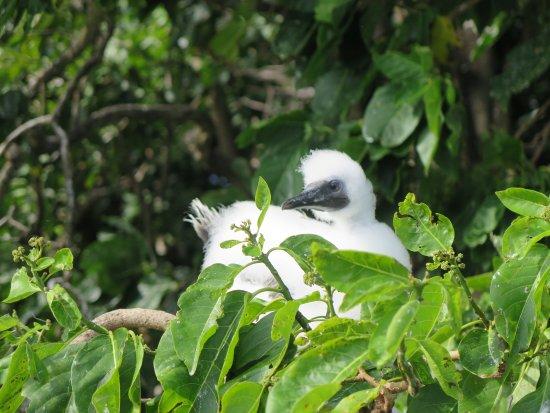 Toberua Island, Fiji: Baby Red Footed Booby