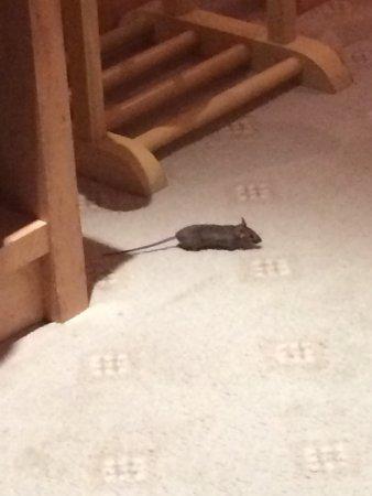 Courthouse Hotel: kleine Ratten im Zimmer
