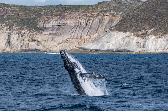 Albany, Australia: This Whale was having an absolute ball breaching continuously for probably about an hour