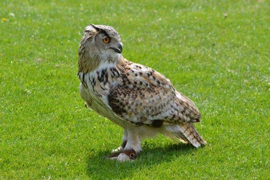 Bedale, UK: Owl