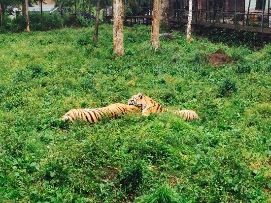 Changbaishan Manchurian Tiger Garden: photo0.jpg