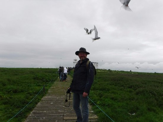 Northumberland, UK: more actic and common terns dive bombing!