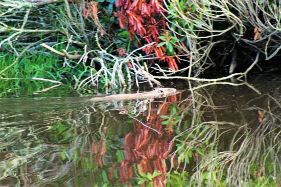 Alyth, UK: Beaver spotted on site