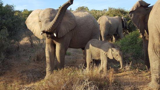 Kenton-on-Sea, Νότια Αφρική: 30 Elephants from a few weeks to old.