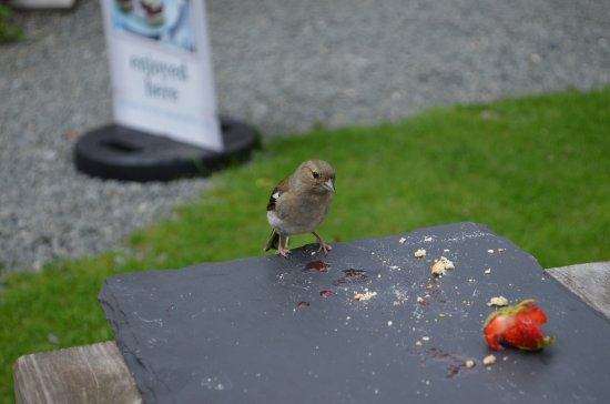 Rhayader, UK: Wildlife visitor to our table