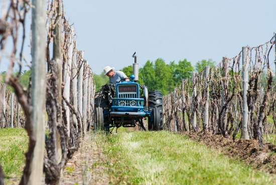 Branchport, NY: Hilling the vines to bury and suppress weeds.