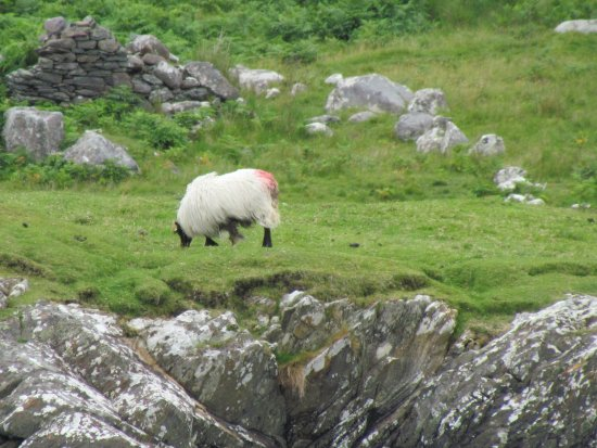 Leenane, Irlandia: Sheep on the hillside next to the fjord (used the zoom on my camera)