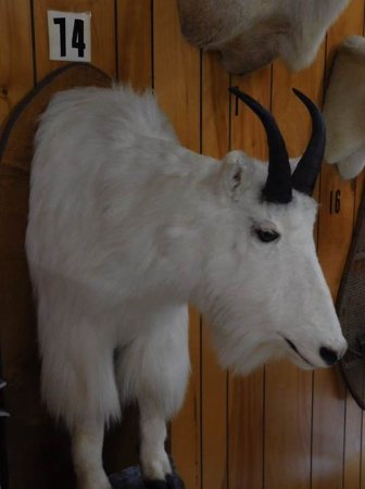 Galax, Βιρτζίνια: Goat