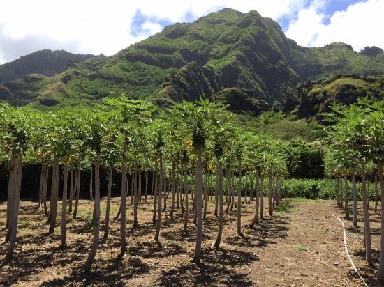 Kaneohe, HI: Some crops on the property
