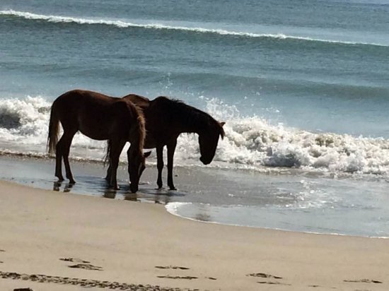 Back Country Safari Tours Wild Horses On Beach Near Corolla Nc
