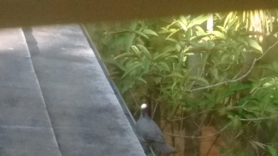 Suite Dreams Inn: White headed pigeon drinking from gutter outside our window