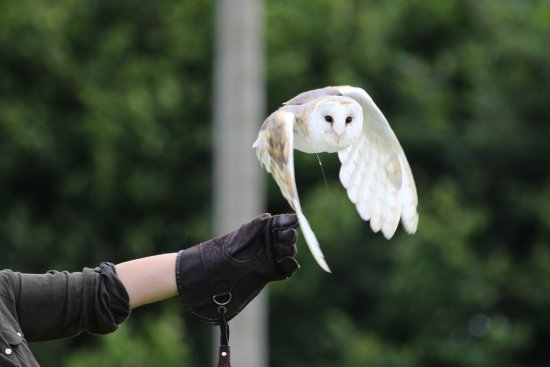 Cullompton, UK: Barn Owl in Field