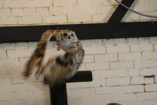 Cullompton, UK: Bella the Bengal Eagle Owl in Barn