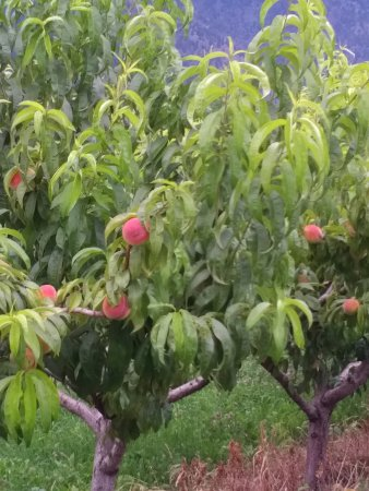 Keremeos, Canada: next door to Peach Tree farm and fruit stand