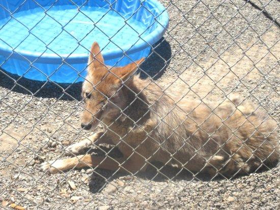 Suisun City, Kalifornia: Coyote, Suisun Wildlife Center, Suisun, CA