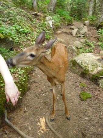 "Stoneham-et-Tewkesbury, Καναδάς: A fawn we met on trail ""Les Loups"""