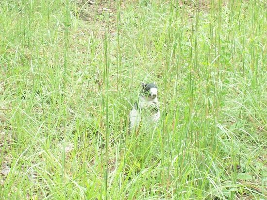 Spring Lake, Carolina del Nord: Eastern Grey Fox Squirrel