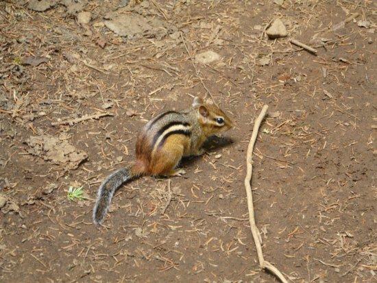 """Stoneham-et-Tewkesbury, Καναδάς: One of the several chipmunks we met on trail """"Les Loups"""""""