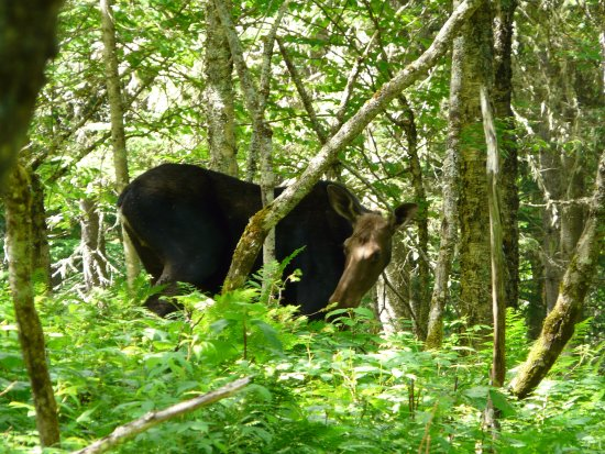 "Stoneham-et-Tewkesbury, Καναδάς: A female moose we saw from trail ""Les Loups"""