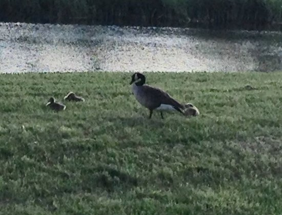 Gloucester, فيرجينيا: Canada goose and her babies.