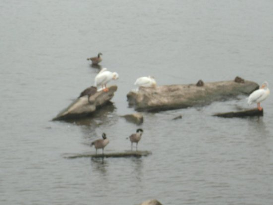 De Pere, WI: Waterfowl on rocks in the river.