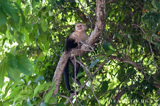 Playa Hermosa, Costa Rica: White-face monkey