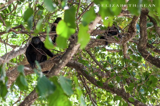 Playa Hermosa, Costa Rica: Family of howler monkeys