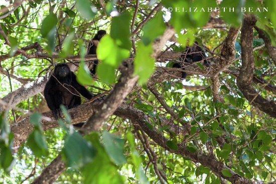 Playa Hermosa, كوستاريكا: Family of howler monkeys