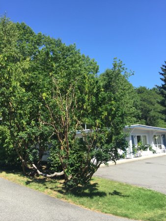Bar Harbor Motel: Golden Chain trees between the buildings