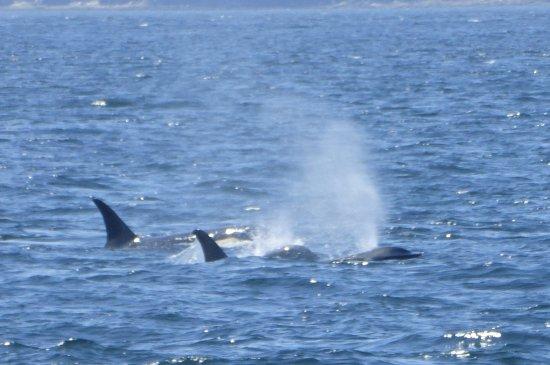 Anacortes, واشنطن: Orcas