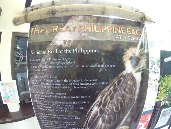 ดาเวา, ฟิลิปปินส์: The great Philippine Eagle