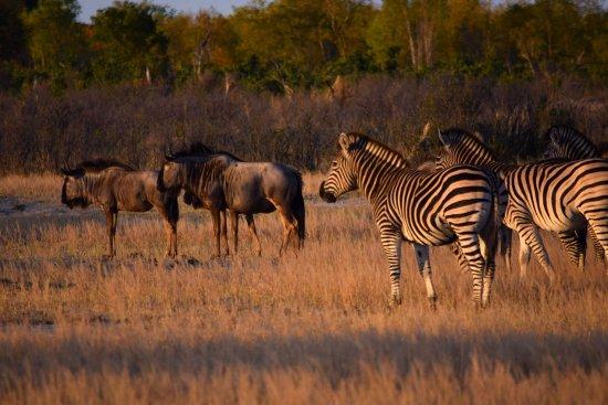 Hwange National Park, Zimbabwe: Wildebeests and zebras...