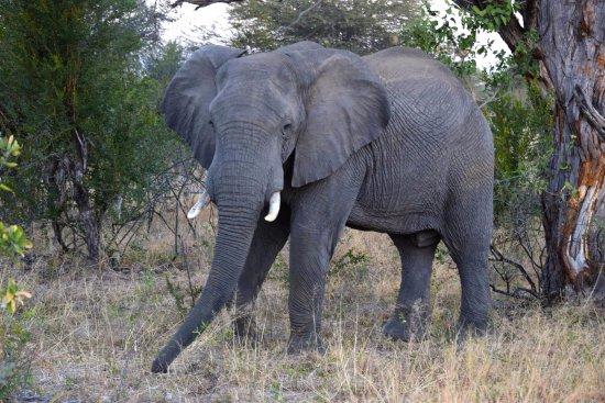 Hwange National Park, Zimbabwe: This elephant just shook the tree...
