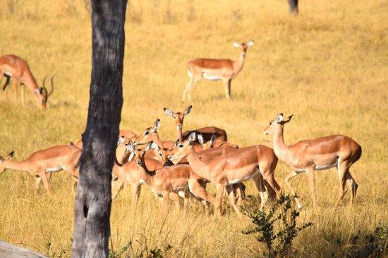 Hwange National Park, Zimbabwe: Impalas...