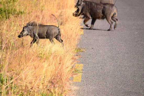 Hwange National Park, Zimbabwe: Warthogs crossing the road...