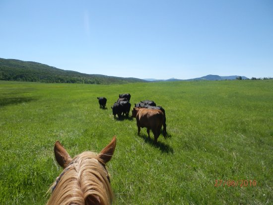 Slater, CO: Moving cattle