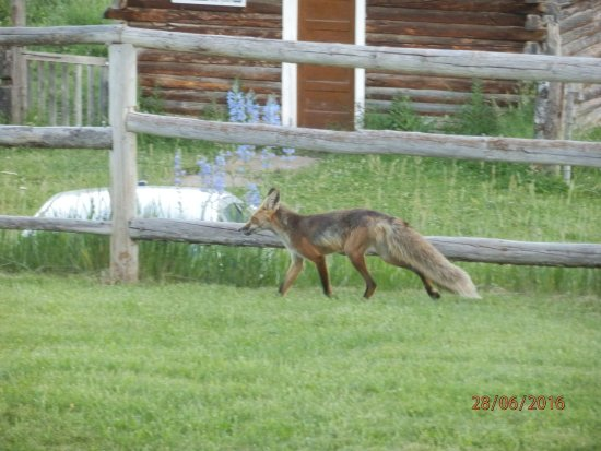 Slater, CO: Fox moving across the yard of the ranch