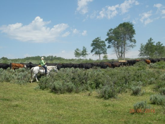 Slater, CO: Moving cattle to new pasture
