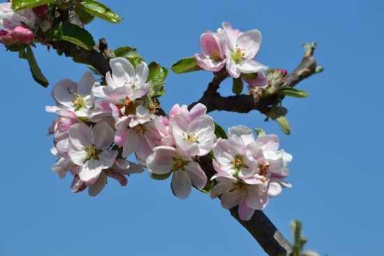 Helmsley, UK: Apple blossoms