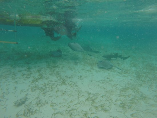 Caye Caulker, Belize: Sharks and rays