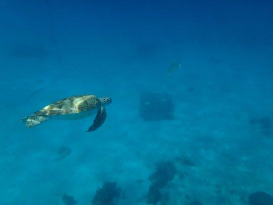 Christchurch, Barbados: Tartarugas em abundância nas aguas azuis